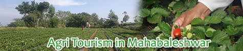 Agri Tourism in Mahabaleshwar - A visit to Strawberry Farms and pluck them too